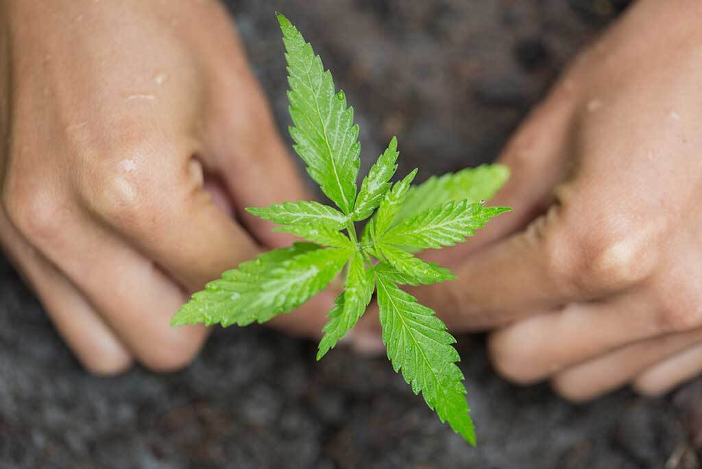 How To Choose The Best Soil For Growing Cannabis