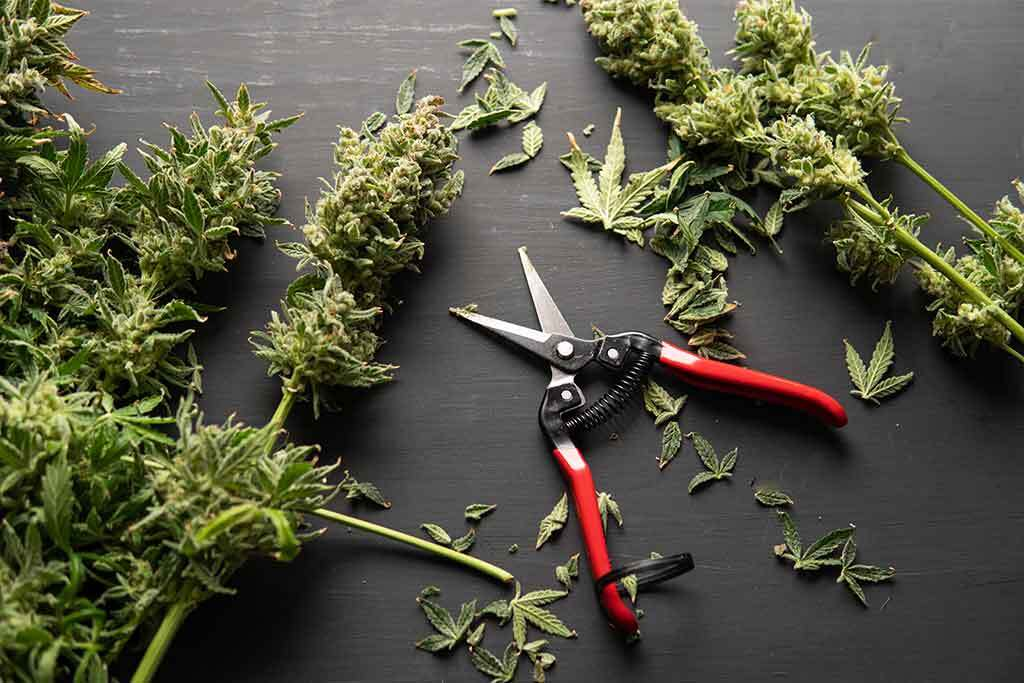 Discover The Top DIY Ways To Use Leftover Cannabis Trim & Leaves